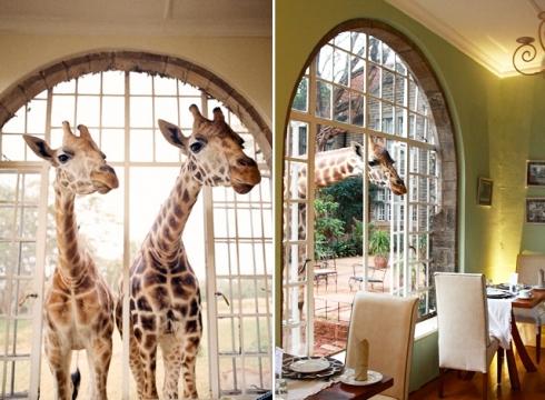 giraffe7